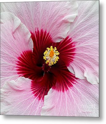 Hibiscus With Cherry-red Center Metal Print by Susan Wiedmann