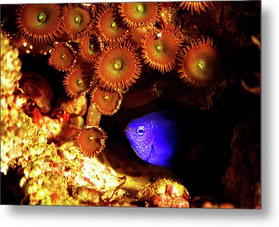 Metal Print featuring the photograph Hiding Damsel by Anthony Jones