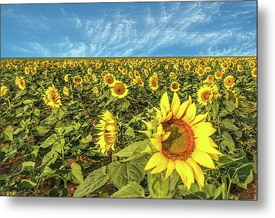 High Plains Sunflowers Metal Print