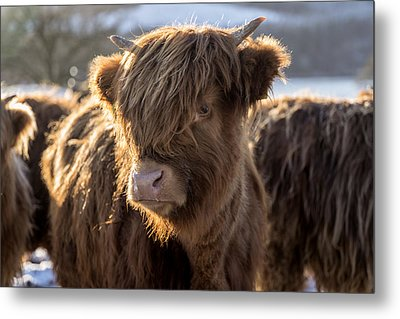 Highland Baby Coo Metal Print by Jeremy Lavender Photography