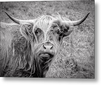 Highland Cow Metal Print by Jeremy Lavender Photography