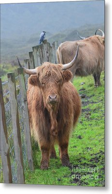 Highland Cow Stanidng By A Fence Line Metal Print by DejaVu Designs