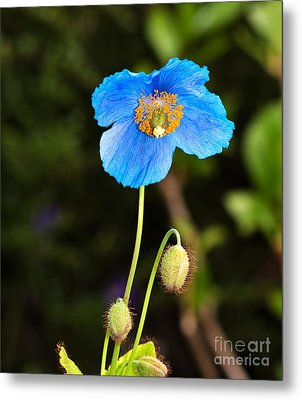 Himalayan Blue Poppy Metal Print by Louise Heusinkveld