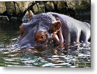 Hippo 3779_2 Metal Print
