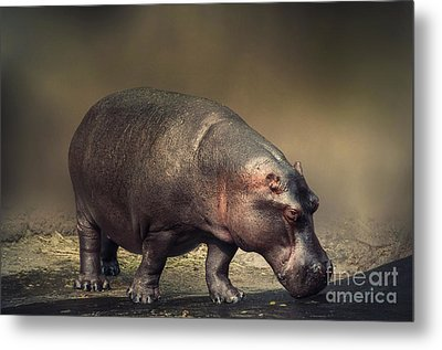 Metal Print featuring the photograph Hippo by Charuhas Images