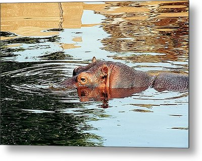 Hippo Scope Metal Print by Jan Amiss Photography