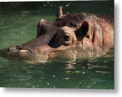 Metal Print featuring the photograph Hippopotamus In Water by JT Lewis