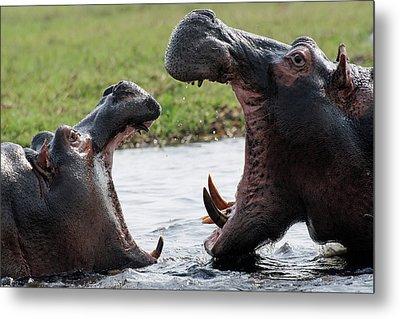 Hippos Fighting Metal Print