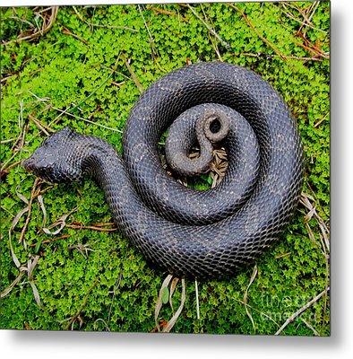 Hognose Spiral Metal Print