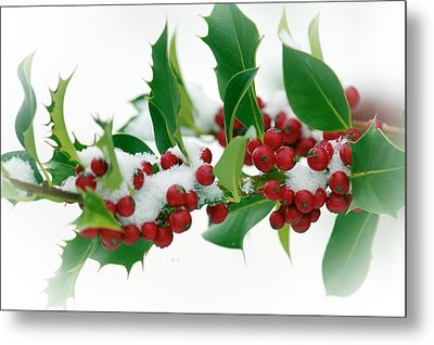 Metal Print featuring the photograph Holly Berries On White by Sharon Talson