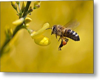 Honeybee Apis Mellifera Metal Print