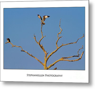 Honeymoon Osprey Metal Print by Stephanie Hayes