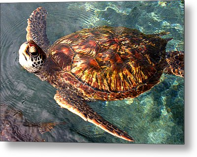 Honu Green Sea Turtle Maui Hawaii Metal Print by Pierre Leclerc Photography