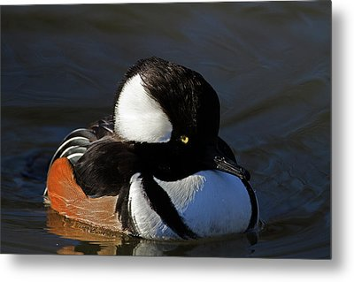 Hooded Merganser Metal Print