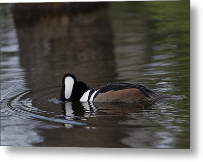 Hooded Merganser Preparing To Dive Metal Print