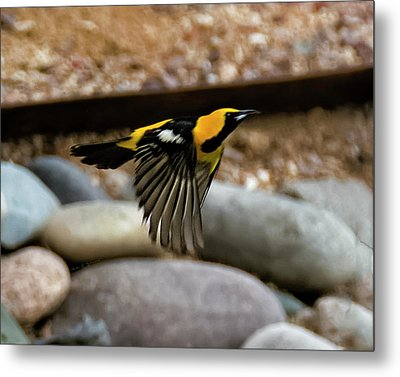 Metal Print featuring the photograph Hooded Oriole H37 by Mark Myhaver