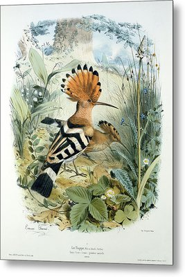 Hoopoe Metal Print by Edouard Travies