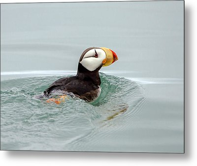 Metal Print featuring the photograph Horned Puffin by Phil Stone