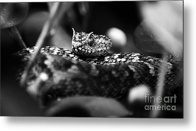 Horned Viper Snake Head Macro Black And White Metal Print
