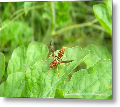 Hornet On Watermelon Metal Print by Angi Nagel