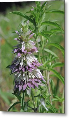 Horsemint Metal Print by Robyn Stacey