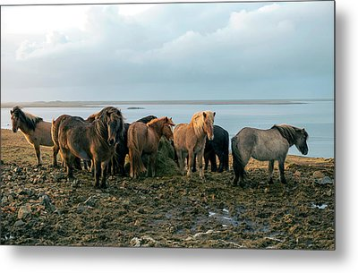 Metal Print featuring the photograph Horses In Iceland by Dubi Roman