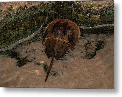 Metal Print featuring the photograph Horseshoe Crab by Kathleen Stephens