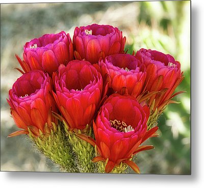 Metal Print featuring the photograph Hot Pink Torch Cactus Bouquet  by Saija Lehtonen