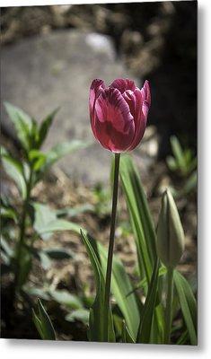 Hot Pink Tulip Metal Print by Teresa Mucha