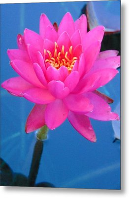 Hot Pink Water Lily Metal Print