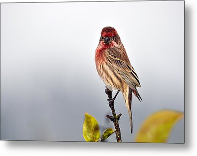 House Finch In Autumn Rain Metal Print