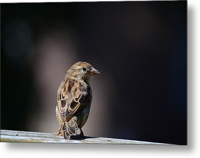 House Sparrow Metal Print by Kathy Eickenberg