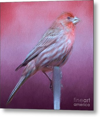 Housefinch Metal Print by Kathleen Rinker