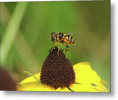 Hoverfly On Brown Eyed Susan Metal Print by Michael Peychich