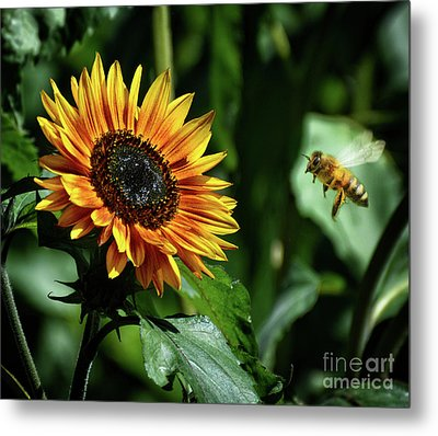 Hovering Bee Going For Sunflower Metal Print by Stephan Grixti
