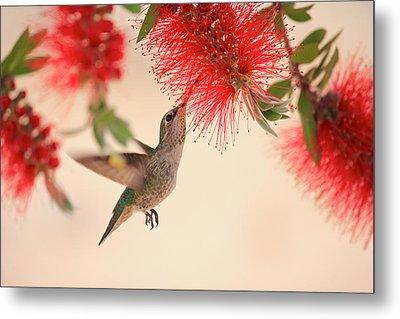 Hovering Hummingbird Metal Print by Penny Meyers