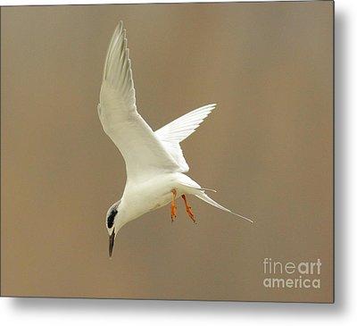 Hovering Tern Metal Print by Robert Frederick