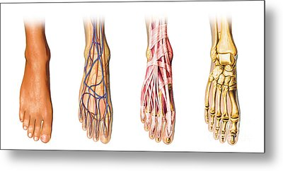 Human Foot Anatomy Showing Skin, Veins Metal Print