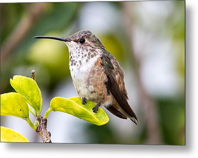 Hummer On A Leaf Metal Print by Phil Stone