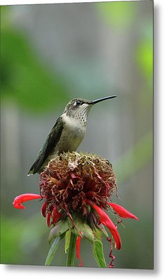 Humming Bird Atop Bee Balm Metal Print by David Stasiak