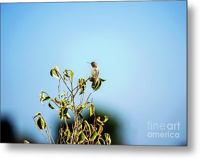 Metal Print featuring the photograph Humming Bird On A Branch by Micah May