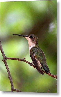 Hummingbird - Afternoon Ruby Metal Print by Travis Truelove