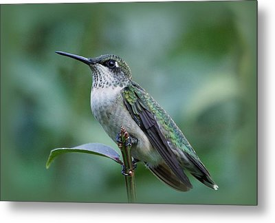 Hummingbird Close-up Metal Print by Sandy Keeton