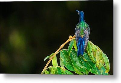 Hummingbird Metal Print by Daniel Precht