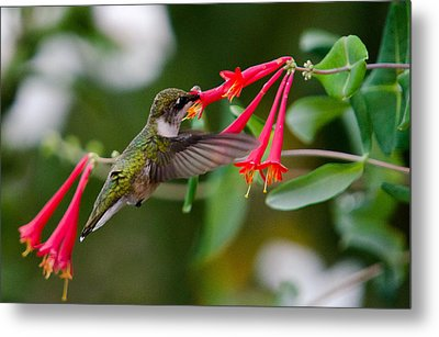 Hummingbird Feeding Metal Print