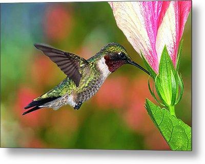 Hummingbird Feeding On Hibiscus Metal Print