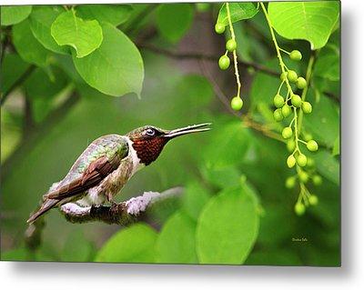 Hummingbird Hiding In Tree Metal Print by Christina Rollo