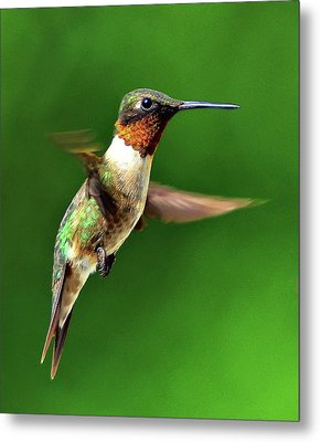 Hummingbird In Mid-air Metal Print