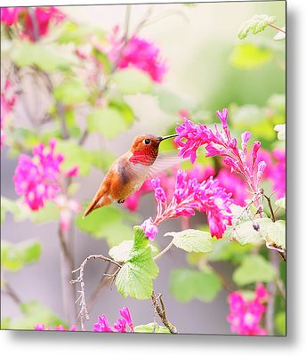 Hummingbird In Spring Metal Print