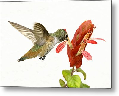 Hummingbird In The Flower Metal Print